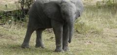 Client photo - Elephant