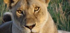 Client photo - Lion