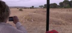 Ruaha National Park - Lion