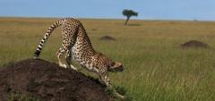 Mara Expeditions - Cheetah