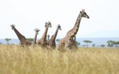 Masai Mara - Giraffe